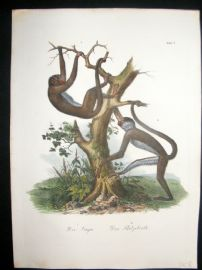 Schinz 1845 Antique Hand Col Print. Monkeys 6